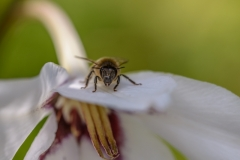 Bees-8636