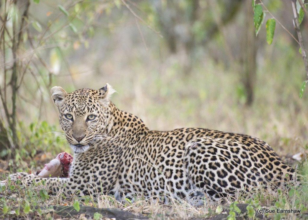 Female Leopard Masai Mara Kenya