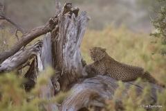 Male Leopard Samburu Kenya