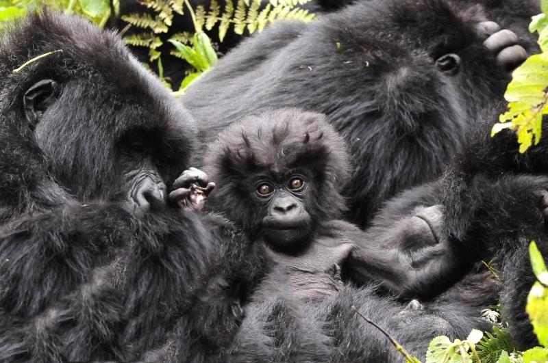 Amahora Gorilla