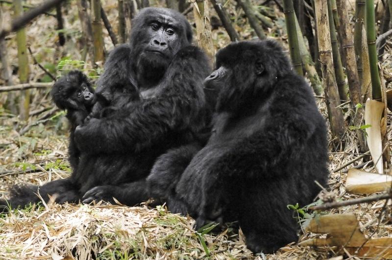 Group13 Gorillas