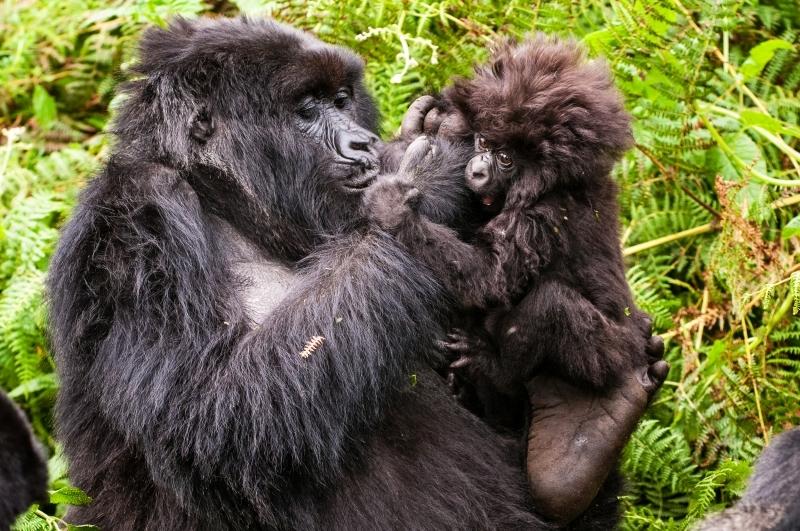 Kuryama Gorilla