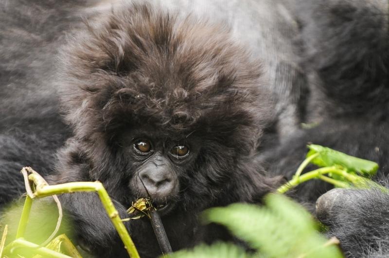 Kuryama Young Gorilla