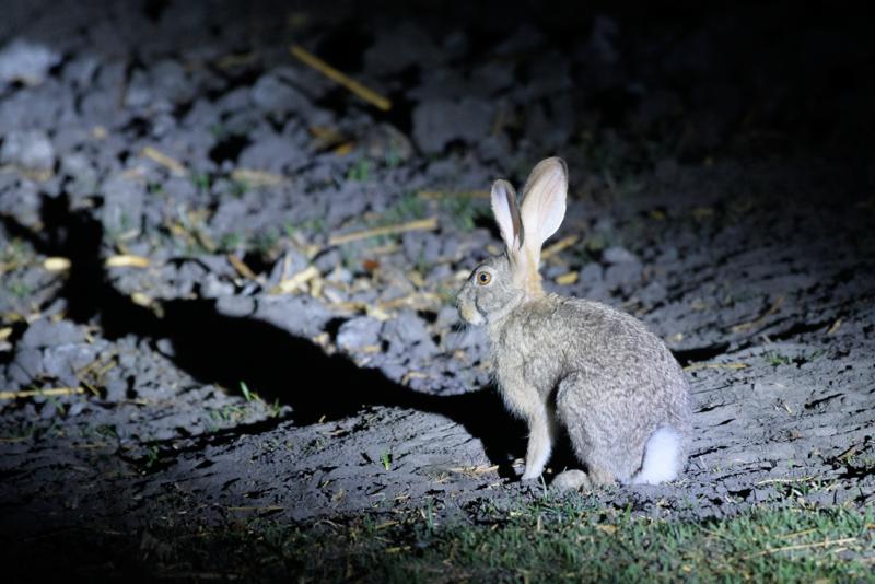Scrub Hare