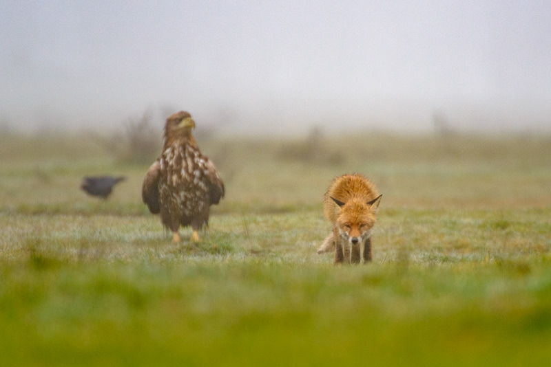 Red Fox Fox and White Tailed Eagle