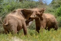 Bull Elephants