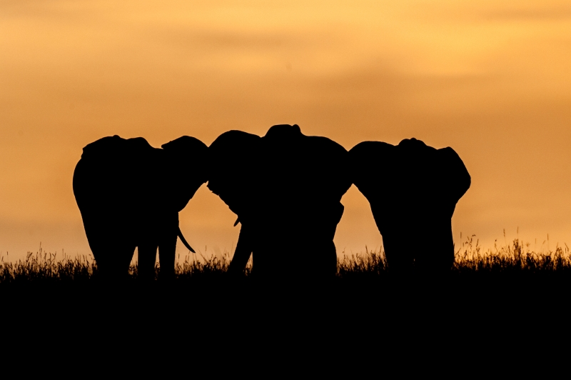 Mara Elephants